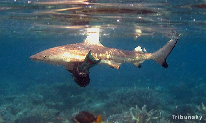 Завтрак акулы. Виламенду. Мальдивы. Видео
